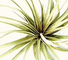 Air Plants | Tillandsia | Tillandsia air plant | Denver | Colorado